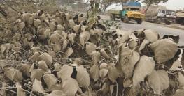 দৈনিক ৪৩৬ মেট্রিক টন ধুলা জমে ঢাকার গাছগুলোতে