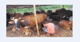 চাহিদা বাড়ায় স্বস্তি ফিরেছে গাজীপুরের দুগ্ধ খামারিদের মাঝে