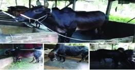গাজীপুরে কোরবানির পশু বেচা-কেনার জন্য কদর বাড়ছে অনলাইন হাটের