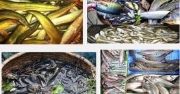 অভয়াশ্রমে রক্ষা দেশীয় মাছ
