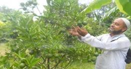 শ্রীপুরে ১২ বিঘা জমিতে শিক্ষকের ফলের বাগান