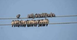 গাজীপুরে বঙ্গবন্ধু সাফারি পার্কে দেখা মিলল শত শত আবাবিল পাখির