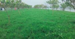 কাপাসিয়ায় চাষ হচ্ছে খেসারী ফসল, খুশি কৃষকরা