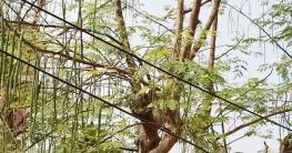 কালিয়াকৈরে গ্রীষ্মকালীন সবজি সজনে ডাঁটার বাম্পার ফলন
