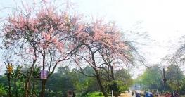 জাপানের জাতীয় ফুলের সৌন্দর্যে সেজেছে জাবি ক্যাম্পাস