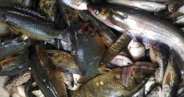স্বাদু পানির মাছ উৎপাদনে বিশ্বে দ্বিতীয় বাংলাদেশ