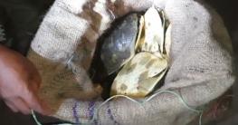 মোংলায় বিলুপ্ত প্রায় মিঠা পানির প্রজাতির ৭৩টি সুন্ধি কচ্ছপ জব্দ