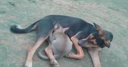মাতৃস্নেহে দুধ খাইয়ে বিড়ালের বাচ্চাকে বড় করছে মা কুকুর