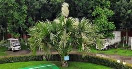 টাঙ্গাইলে তালিপাম গাছে ফুটেছে 'মরণফুল'